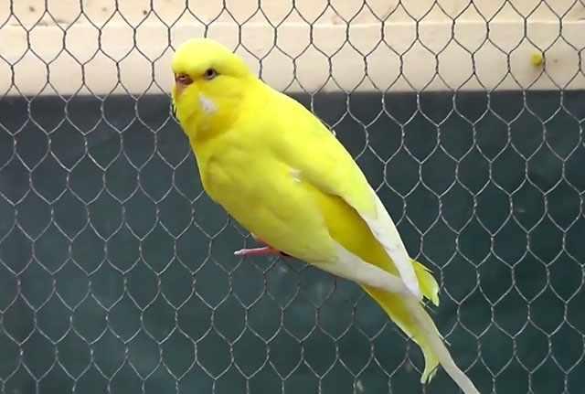 В первое время нельзя выпускать птицу из клетки