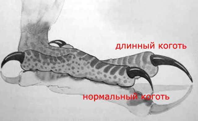 Длина птичьих когтей