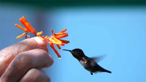 Колибри-пчелка - самая маленькая птица в мире