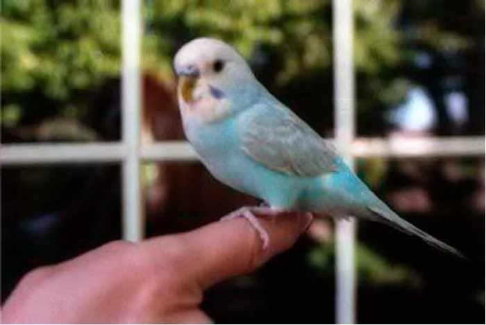 Попугай Пак - рекордсмен из «Книги рекордов Гиннесса»