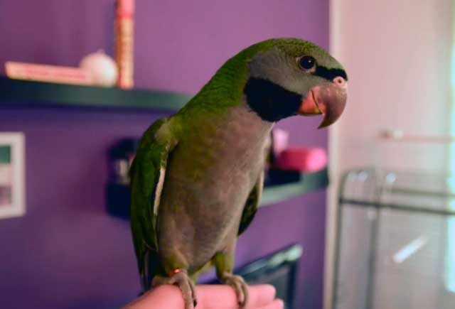 Китайский попугай