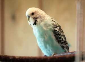 Клюв взрослого попугая светло-зеленого или светло-желтого оттенка