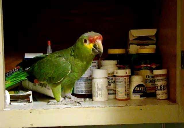 Любознательная птица в аптечном шкафчике