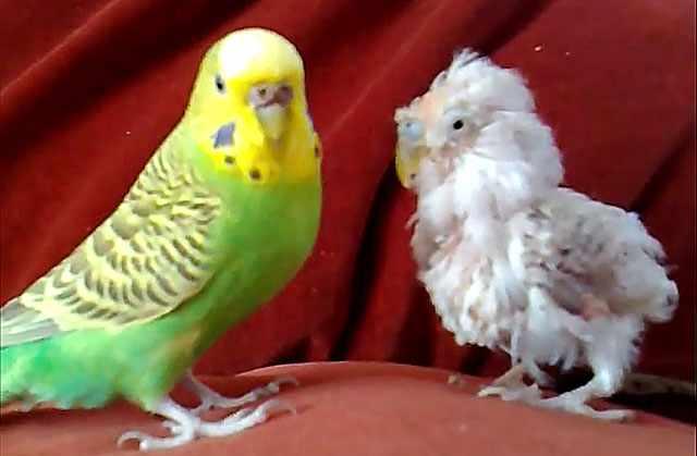 Здоровая и больная птицы