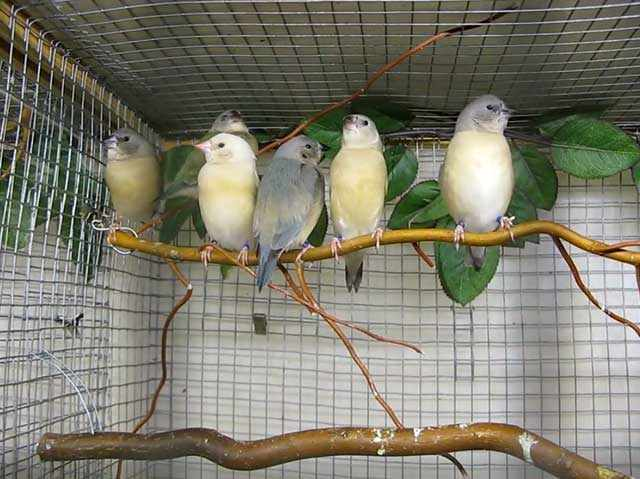 Амадины - стайные птички