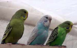 Не стоит покупать взрослого попугая в зоомагазине