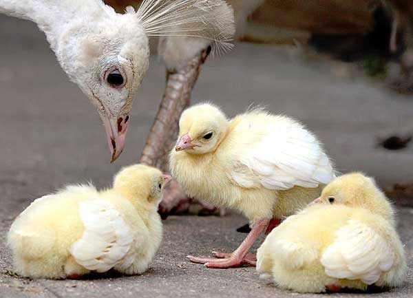 Птенчики требуют внимания и заботы