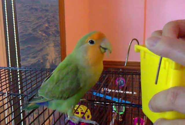 Попугай заинтересовался новой кормушкой